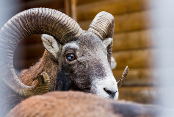 Wild sheep. Clouse-up.