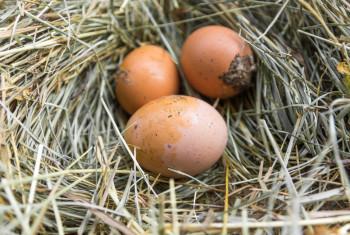 Dirty eggs on hay.