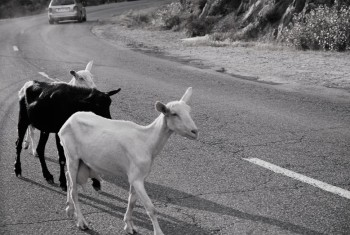 goats black and white