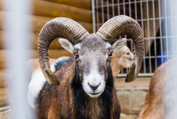 Portrait Ovis ammon. Wild sheep. Clouse-up.