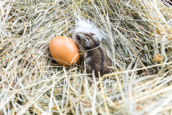 Mouse and chicken egg on hay.