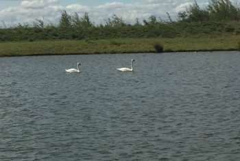 Two swans together