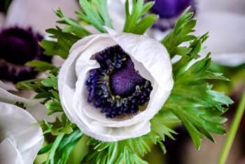 Flower bud. Marianne white. Anemore. Marianne Panda