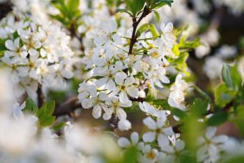 Macro shot of blooming in spring flowers of plum tree