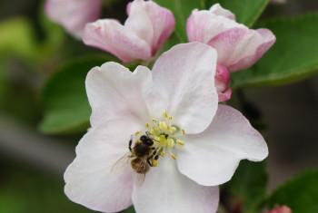 Vertical macro shot of blooming in spring  flowers of apple tree
