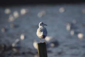 Tern on a post