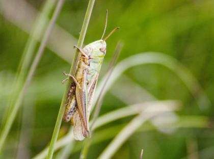 c green grasshopper