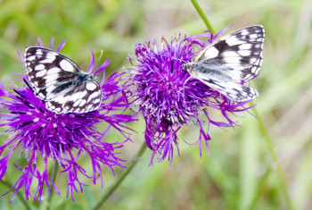 Pair Marbled White Butterflies