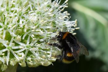 Allium bee close up