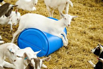 Goat Barrel Laughs