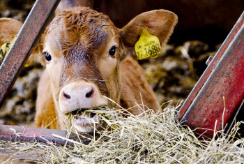Calf Eat Silage