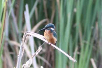 Kingfisher1