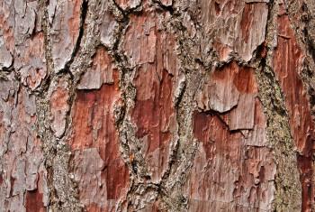 Bark on a Pine Tree