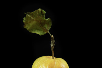 Dried apple isolated on background.