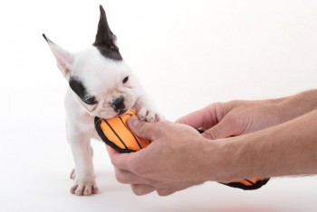 French puppy bulldog, isolated – Playing