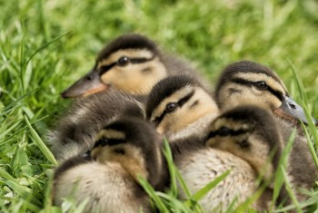 Young Mallard Ducklings,RHS Harlow Carr NEW EDIT 22.5.2017.1