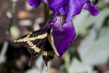 Purple Bearded Iris and Friend