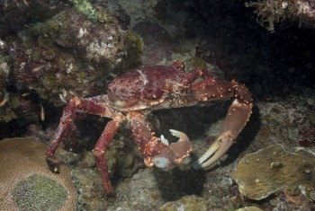 Channel-clinging crab foraging for food in a marine reserve.