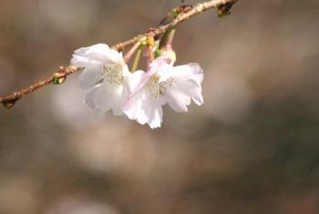 cherry blossom – japan
