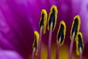 Macro photograph of stamen of a purple day lily.