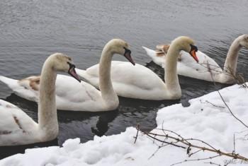 Frozen Swan lake-9