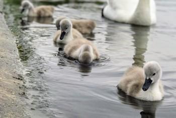 Swans in London