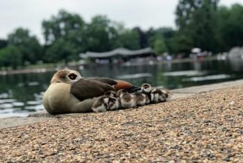 Geese in London