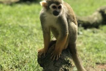Squirrel Monkey (Woburn)