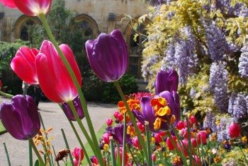 Tulip flowers Oxford collage England
