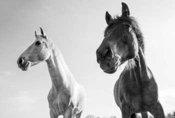 Dark Brown and White Horses Outdoors on a Bright Sunny Day